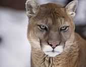 Постер, плакат: Cougar or Mountain lion