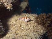 image of hawkfish  - hawkfish sitting on wreck structure villa vanuatu - JPG