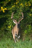White-tailed Deer Buck With Velvet Antlers