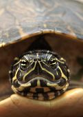 picture of cooter  - (head on shot of turtle) thank you for looking - JPG
