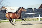 pic of hackney  - Brown horse running in enclosure. Natural color and light