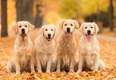 Golden Retriever Dog In The Nature An Autumn Day poster