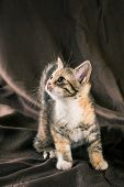Portrait Of Tabby Kitten With Few Red Spots And White Chest poster