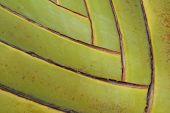 Leaf Bases On A Traveler's Palm (ravenala Madagascariensis). poster