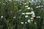 Flowering. Chamomile. Blooming Chamomile Field, Chamomile Flowers On A Meadow In Summer, Selective F poster