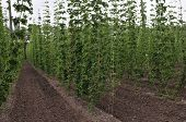 Hop Plant Growing On A Hop Farm. Fresh And Ripe Hops In Spring. Beer Production Ingredient. Brewing poster
