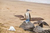 Galapagos animals: Blue-footed Booby and chick - Iconic and famous galapagos animals and wildlife. B poster