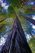 Tall Redwood Tree In The San Francisco, California  Redwood Forest National Park. poster