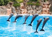 pic of grampus  - Dolphins - JPG