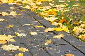 Autumn Yellow Maple Leaves On Sidewalk In City Rainy Weather. Fallen Bright Leaves On City Park. poster