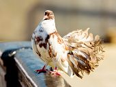 White Brown Dove (pigeon Bird) On Fence Near River. Beautiful Wedding Dove Pigeon In City. White Bro poster