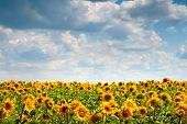Sunflowers Field. Blooming Sunflower Flowers On A Sunflowers Field And A Blue Sky With White Clouds  poster