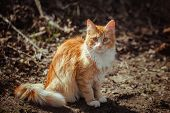 Red Striped Fluffy Cat Sitting On The Ground. A Stray Young Cat With Ginger And White Fur. A Lonely  poster