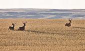 picture of black tail deer  - Mule Deer in Wheat Field in Fall Alberta Canada - JPG