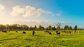 Cows Grazing On A Daily Farm In Rural South Australia During Winter Season poster