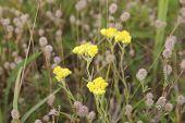 Helichrysum Arenarium, Dwarf Everlast, Immortelle Yellow Flowers poster