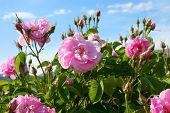 stock photo of pink roses  - Beautiful pink roses at garden under blue sky - JPG