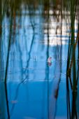 The Feather Floats On The Blue Water Among The Reed Stalks With Beautiful Reflections And A Blurred  poster