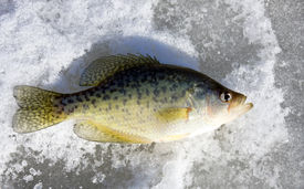 image of crappie  - crappie fish on a frozen freshwater lake - JPG
