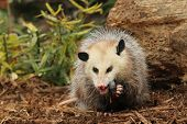 stock photo of opossum  - A capture of a young opossum eating a mouse - JPG