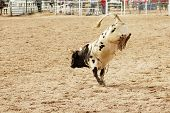 stock photo of brahma-bull  - bucking action after the rider had been thrown during the bull rinding competition at a rodeo - JPG