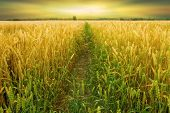 stock photo of dick  - Golden wheat field before the harvest of the autumn - JPG