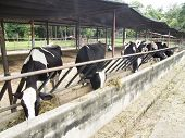 pic of dairy cattle  - Dairy cow in farm - JPG