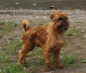 image of laughable  - Bruxellois Griffon  is a breed of a small dogs of a red color - JPG