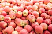 foto of staples  - Lots of fresh Gala apples - JPG