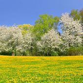 Blooming tree on spring meadow with dandelions