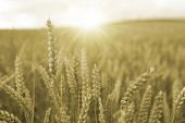 Sun over Wheat crop