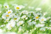 stock photo of daisy flower  - Beautiful spring daisy illuminated by sunlight in morning - JPG