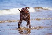 image of chocolate lab  - chocolate labrador retriever dog on the beach - JPG