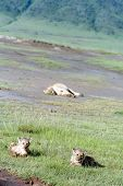 Lion Cubs Lying In  Grass, National Park Volcano Ngorongoro, Tanzania