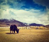 image of yaks  - Vintage retro hipster style travel image of yak grazing in Himalayas mountains - JPG