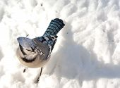 pic of blue jay  - A blue jay standing on the snow on it - JPG