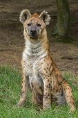 image of spotted dog  - a portrait the Spotted hyena  - JPG