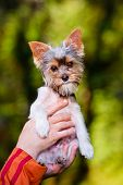 picture of yorkie  - small biewer yorkie puppy outdoors in summer - JPG