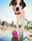 pic of cattle dog  -  a cute dog having fun at a local public pool  - JPG