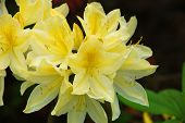 pic of azalea  - Yellow azaleas blooming flower surrounded by green leaves - JPG