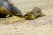 picture of sea lion  - baby sea lion with mother in san cristobal galapagos islands ecuador - JPG