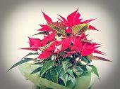 pic of poinsettias  - Red Christmas star Poinsettia Euphorbia pulcherrima flower - JPG