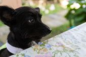 stock photo of dog clothes  - mongrel black dog wearing green cloth sitting beside the table - JPG
