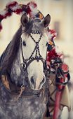 picture of  horse  - Muzzle of a white horse in a harness. Stallion. Portrait of a horse. Thoroughbred horse. Beautiful horse.