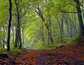 picture of dirt road  - Dirt road in the mixed forest (beech oak and hornbeam) in a misty day autumn Saarland / Germany. Stitched