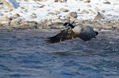 pic of snow goose  - Canada Goose Taking Off From a Winter River - JPG