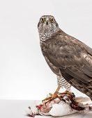 picture of merlin  - Hawk hunting a white pigeon on white background - JPG