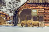 picture of counting sheep  - Rural scene with old Romanian wooden cottage with two sheep resting nearby during winter in Magura village Brasov count Romania - JPG