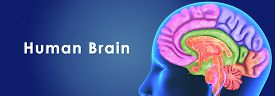 stock photo of frontal lobe  - The human brain has many properties that are common to all vertebrate brains - JPG