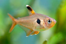 image of freshwater fish  - Aquarium fish. Rosy Tetra. Nature tank. Freshwater tank. A green beautiful planted freshwater aquarium with Tetra fishes. (macro soft focus). ** Note: Visible grain at 100%, best at smaller sizes - JPG